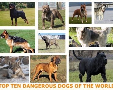 Most Aggressive Top Ten Dangerous Dogs of the World